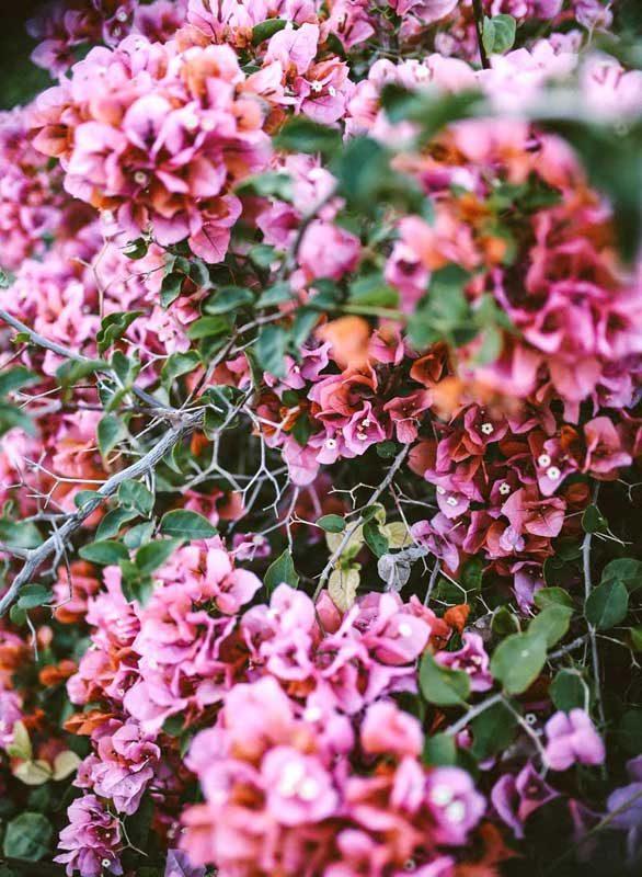 La buganvilla una planta muy vistosa y ex tica - La buganvilla ...